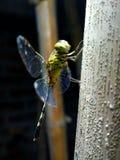 Die Libelle stockfoto