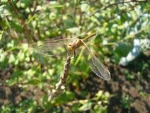 Die Libelle lizenzfreies stockfoto