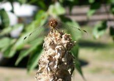 Die Libelle lizenzfreies stockbild