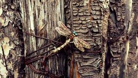 Die Libelle Lizenzfreie Stockbilder
