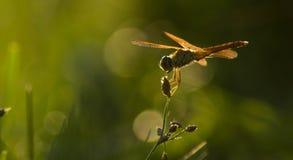Die Libelle Stockbilder
