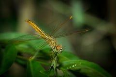 Die Libelle Lizenzfreie Stockfotos
