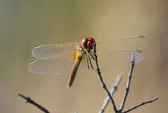 Die Libelle auf Zweig Lizenzfreies Stockbild