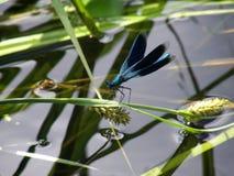 Die Libelle sitzt auf der Anlage über dem Wasser lizenzfreie stockfotos