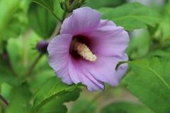 Die lila Blume hat große Blumenblätter Lizenzfreie Stockbilder