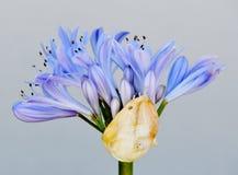 Die Lilie des Nils Stockbild
