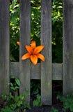 Die Lilie und der Zaun Lizenzfreie Stockfotos