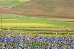 Die Linse, die in Castelluccio di Norcia blüht Tausenden Farben Stockfotografie