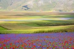 Die Linse, die in Castelluccio di Norcia blüht Tausenden Farben Lizenzfreies Stockbild