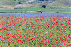 Die Linse, die in Castelluccio di Norcia blüht Tausenden Farben Stockfotos