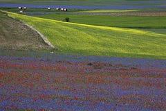 Die Linse, die in Castelluccio di Norcia blüht Tausenden Farben Lizenzfreie Stockbilder