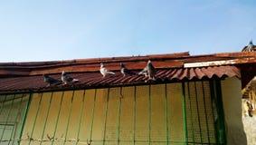 Die lustigen Tauben, die auf dem hellen Dach sitzen und aalen sich Lizenzfreies Stockbild