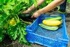 Die Mädchen ausgewählte junge Zucchini und die Falte im blauen Plastikkasten Das Gartenbett der Zucchini Gesunde Nahrung lizenzfreies stockfoto