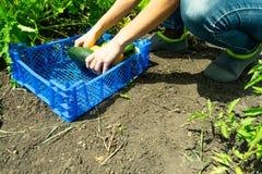 Die Mädchen ausgewählte junge Zucchini und die Falte im blauen Plastikkasten Das Gartenbett der Zucchini Gesunde Nahrung lizenzfreies stockbild