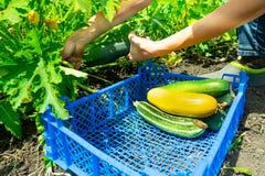Die Mädchen ausgewählte junge Zucchini und die Falte im blauen Plastikkasten Das Gartenbett der Zucchini Gesunde Nahrung lizenzfreie stockfotografie