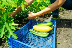 Die Mädchen ausgewählte junge Zucchini und die Falte im blauen Plastikkasten Das Gartenbett der Zucchini Gesunde Nahrung stockfoto