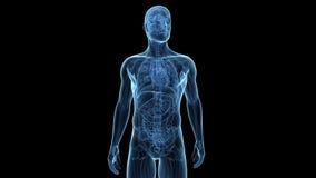 Die männliche Anatomie des oberen Körpers stock abbildung