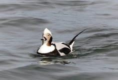 Die männliche Ente des langen Schwanzes lizenzfreies stockfoto
