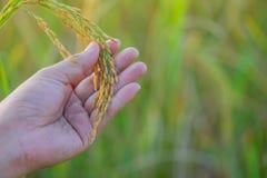 Die männliche Hand des Landwirts, die Reis im Reis berührt, archivierte Konzept nehmen c lizenzfreies stockfoto