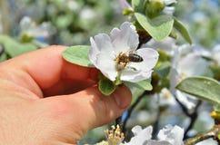 Die männliche Hand hält eine Apfelblüte mit einer Biene Stockfoto