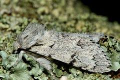 Die Müllermotte (Acronicta-leporina) im Profil Stockbilder