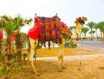Die Mündung der afrikanischen Kamelnahaufnahme Stockbild