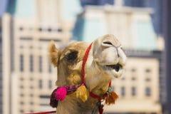 Die Mündung des afrikanischen Kamels Stockfoto
