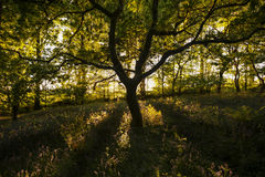 Die magische Eiche, die im Holz wächst Lizenzfreies Stockbild