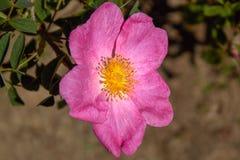 Die magische wilde Rose Rosa Gallica 'Essig Rose lizenzfreies stockfoto