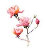 aquarell magnolien blume vektor abbildung bild 49394955. Black Bedroom Furniture Sets. Home Design Ideas