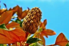 Die Magnolienbaumfrüchte lizenzfreie stockfotos