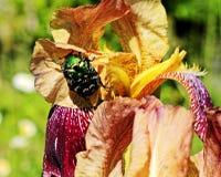 Die Mai-Wanze sitzt auf einer Blume Stockfoto