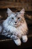 Die Maine-Katze stockbild