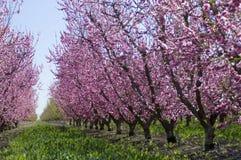 Die Mandelbäume, die in blühenden rosa Blumen bedeckt werden, wachsen in den Reihen in t lizenzfreie stockfotos