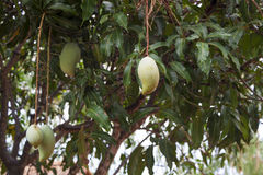 Die Mangofrucht sauer stockfotografie