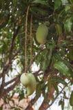 Die Mangofrucht sauer lizenzfreie stockbilder