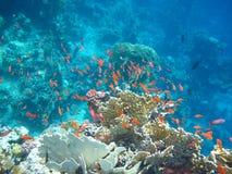 Die Masse der roten Fische Stockbilder