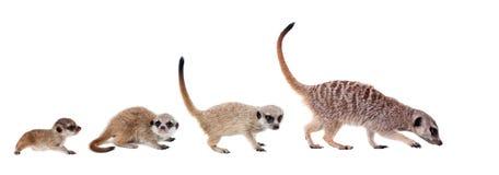Die meerkats auf Weiß Stockfotos