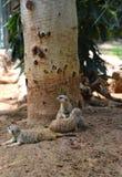 Die meerkats Familie - faule meerkats stockbilder