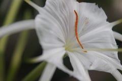 Die meiste Schönheit weiße Blume Stockfotografie