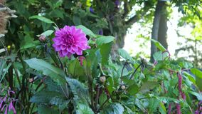 Die meisten Dahlien im Garten unter grünen Blättern Lizenzfreie Stockfotografie