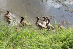 Die Menge von Enten lebt auf Rand des Kanals lizenzfreie stockfotos