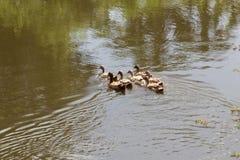 Die Menge von Enten lebt auf Rand des Kanals lizenzfreie stockfotografie