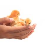 Die menschliche Hand, die zwei des Babykükens hält, scheinen sich schützen und Ca helfend Lizenzfreies Stockbild