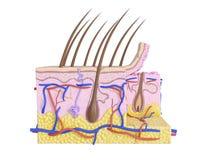 Die menschliche Haut stock abbildung