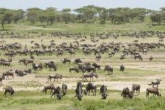 Die Migration lebt im Ndutu Bereich, Tanzania in Herden Stockfotografie