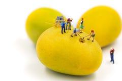 Die Miniaturfigürchen von Arbeitskräften graben die Reifungsmango stockfotos