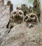 Die mit bloßen Beinen Eulen-oder Kubaner-Schrei-Eulen (Gymnoglaux lawrencii) an einem Nest auf einem Baum Stockfotografie