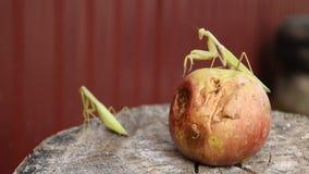 Die männliche Gottesanbeterin auf dem Apfel Gottesanbeterin, die nach Opfer sucht Gottesanbeterininsektenfleischfresser stock video