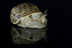Die Molluske Stockbild